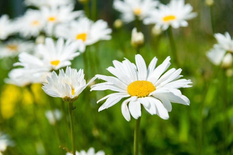 Flores da camomila em um dia de verão ensolarado Margaridas de florescência fotos de stock royalty free