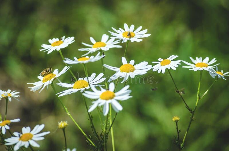 Flores da camomila no campo imagem de stock royalty free