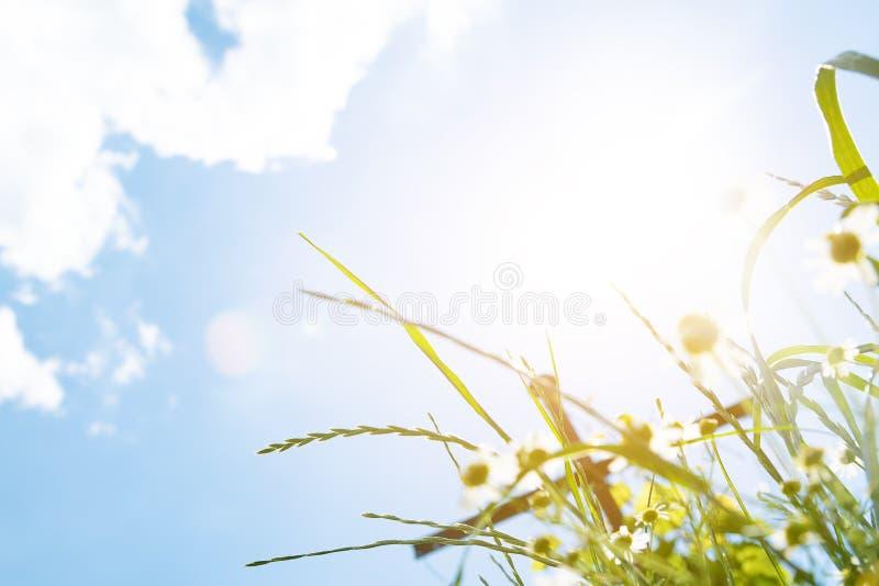 Flores da camomila no jardim no dia ensolarado imagem de stock