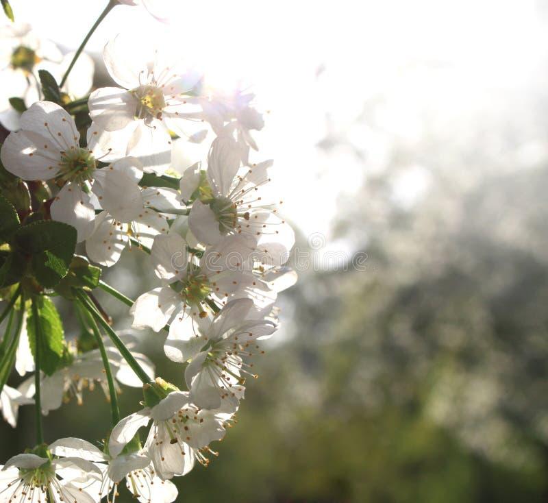 Flores da cereja fotos de stock