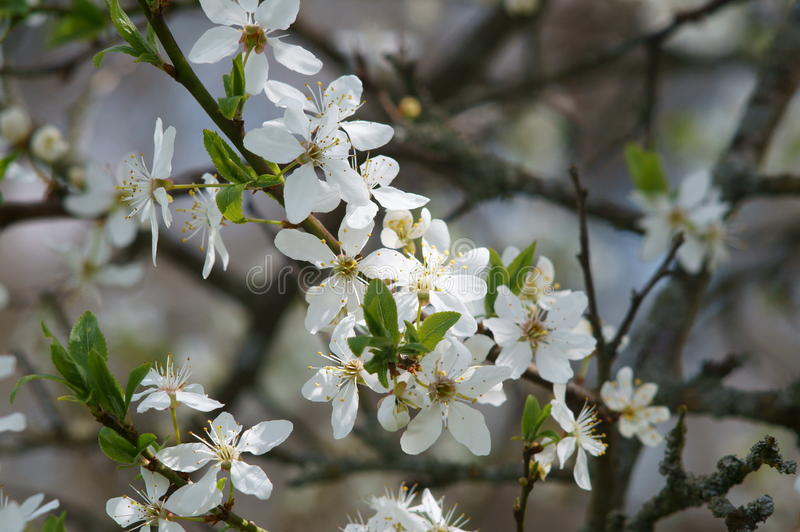 Flores da cereja imagem de stock royalty free