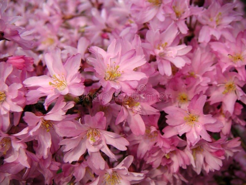 Flores da cereja fotografia de stock