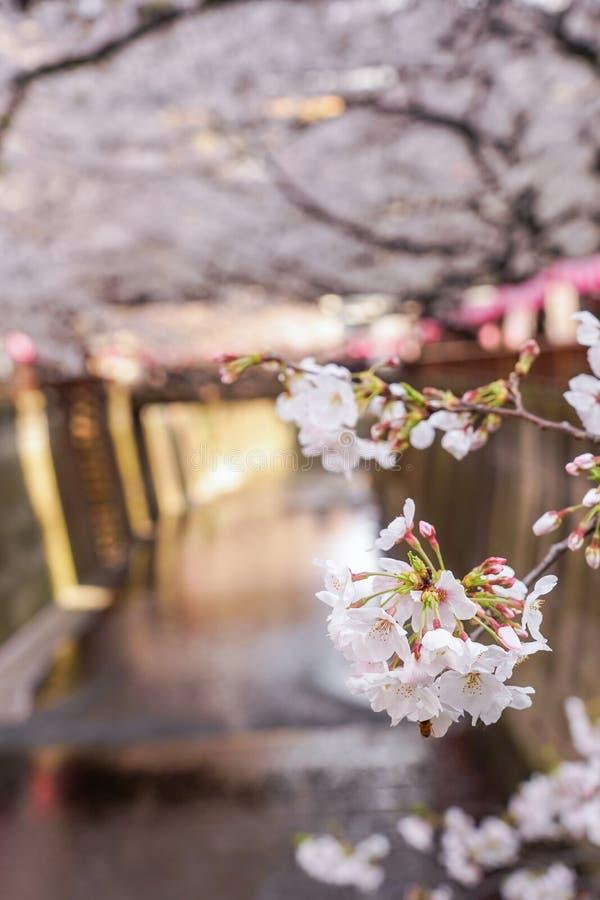 Flores da cereja de Blossum no canal de Ueno foto de stock royalty free