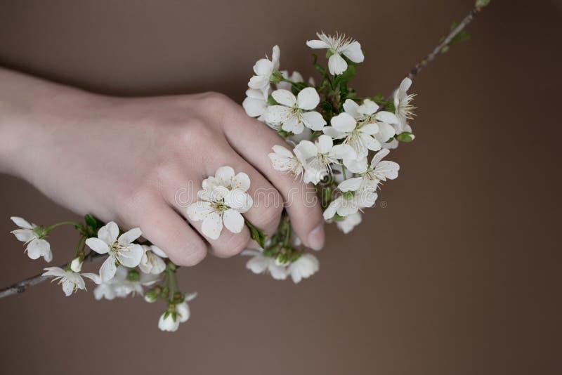 Flores da cereja nas mãos fotografia de stock