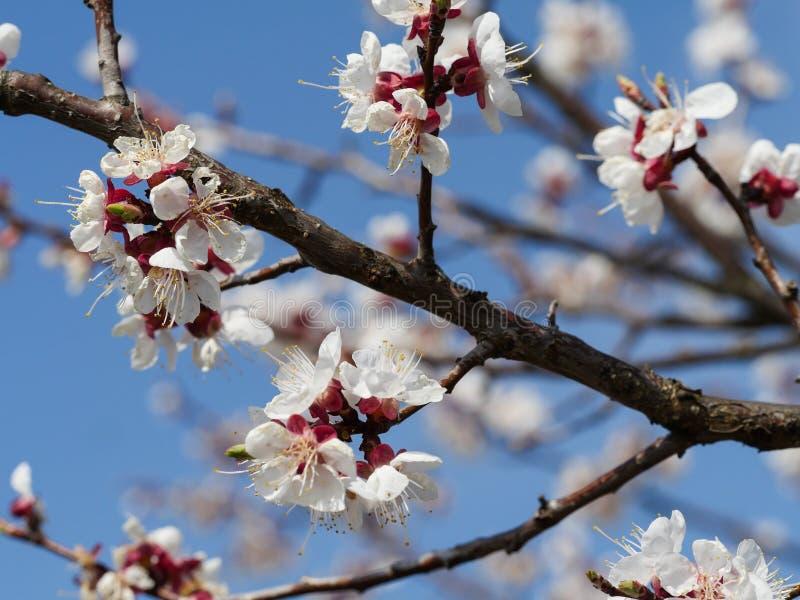 Flores da cereja no fundo do c?u azul foto de stock