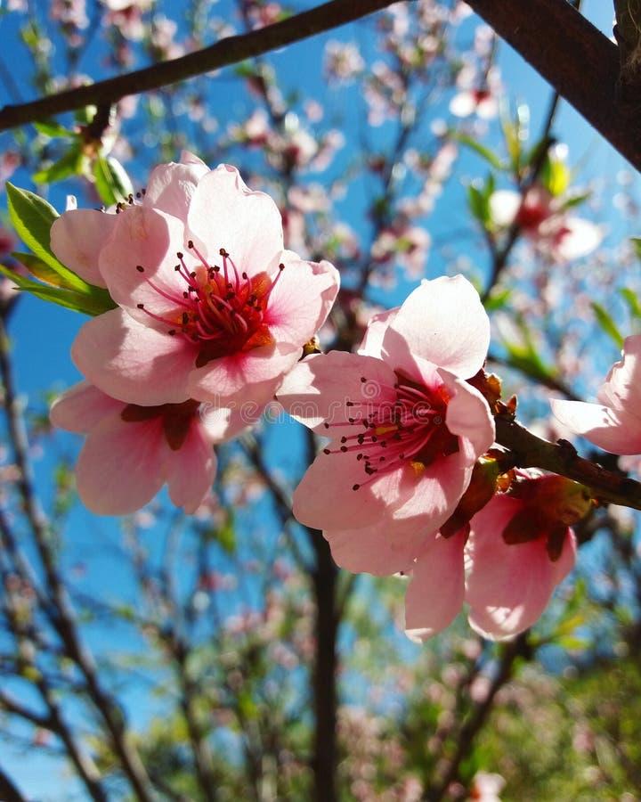 Flores da cereja imagem de stock