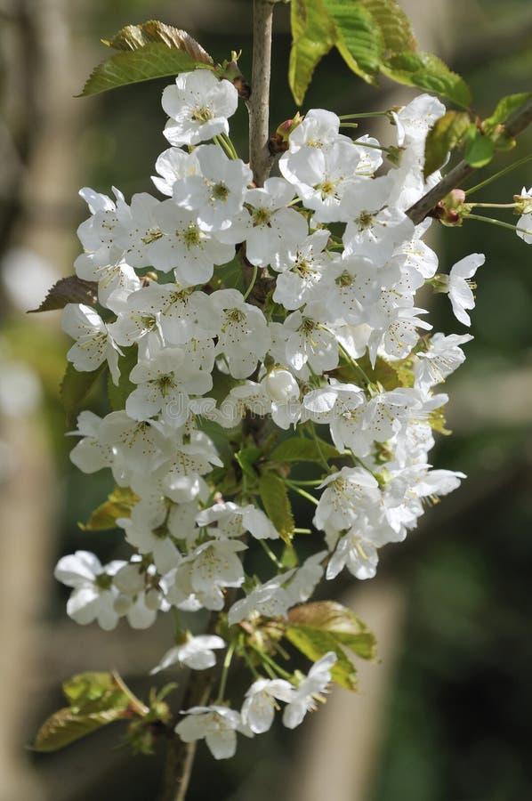 Flores da cereja selvagem fotografia de stock royalty free