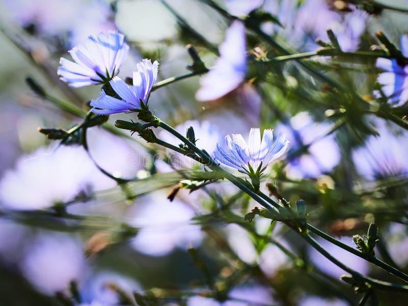 Flores da chicória fotografia de stock