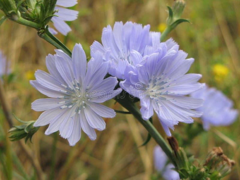Flores da chicória foto de stock