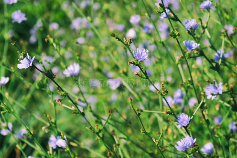 Flores da chicória imagem de stock royalty free