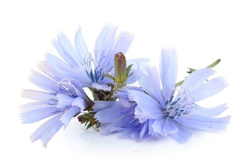 Flores da chicória comum imagens de stock royalty free
