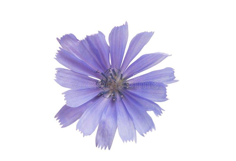 Flores da chicória isoladas imagem de stock royalty free