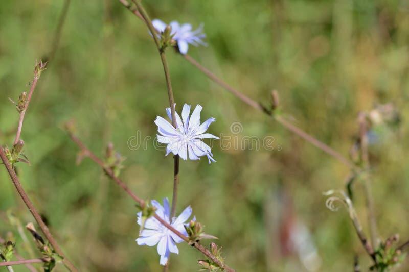 Flores da chicória no gramado em um dia de verão ensolarado imagens de stock