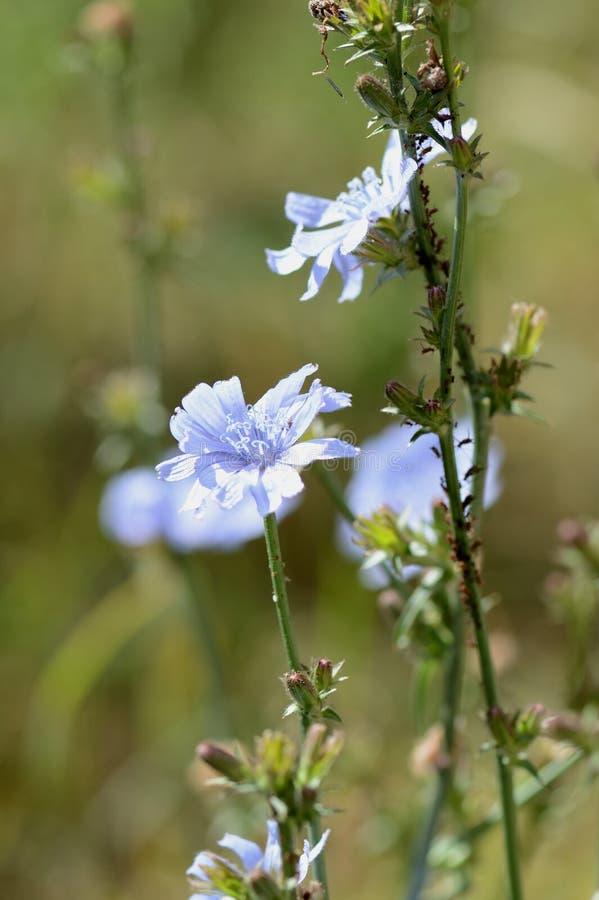 Flores da chicória no gramado em um dia de verão ensolarado foto de stock royalty free