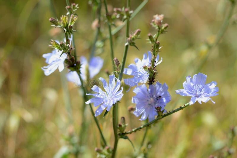 Flores da chicória no gramado em um dia de verão ensolarado imagem de stock royalty free
