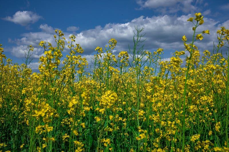 Flores da colza em um campo sob o céu azul nebuloso imagens de stock royalty free