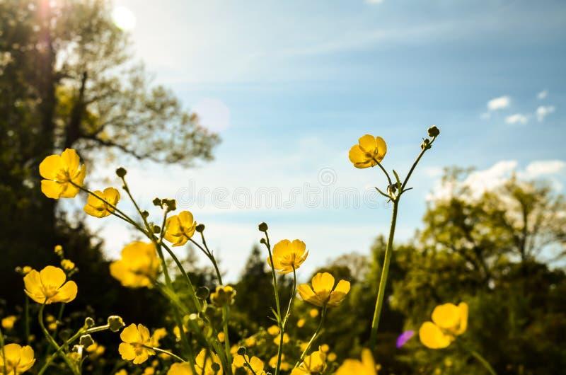 Flores da colza no prado da mola foto de stock