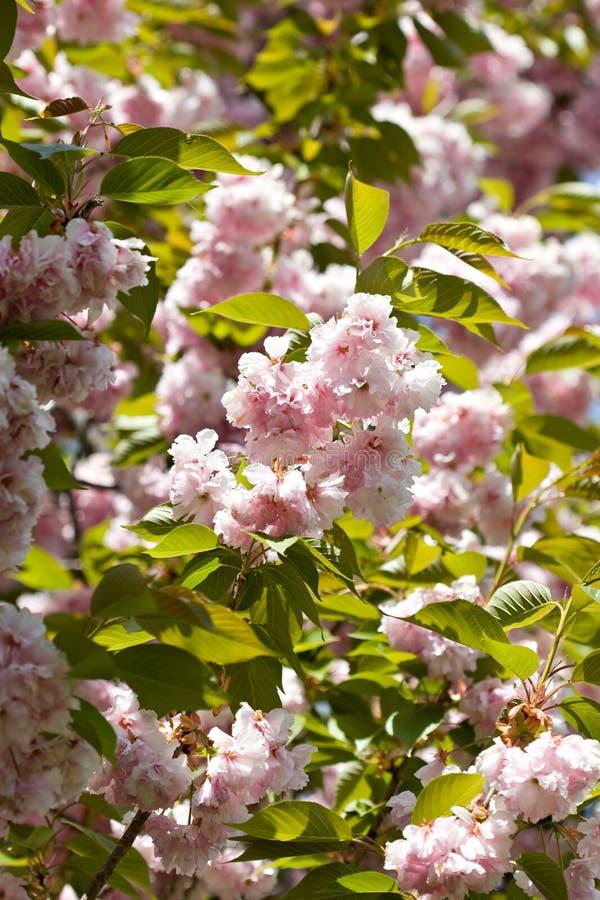 Flores da cor-de-rosa do detalhe da filial de árvore da cereja da mola fotos de stock royalty free