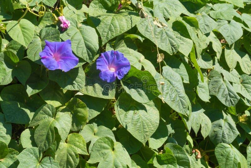 Flores da corriola fotos de stock