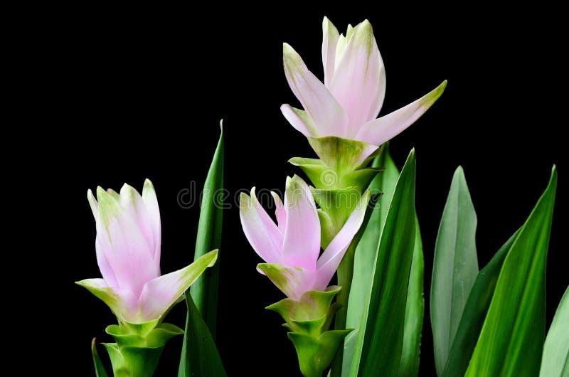 Flores da curcuma no fundo preto imagem de stock