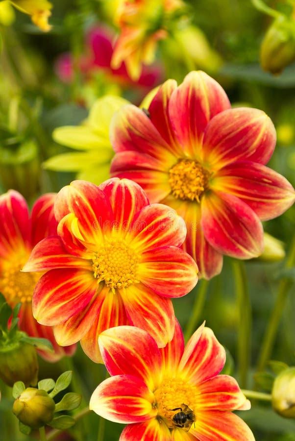 Flores da dália fotos de stock royalty free