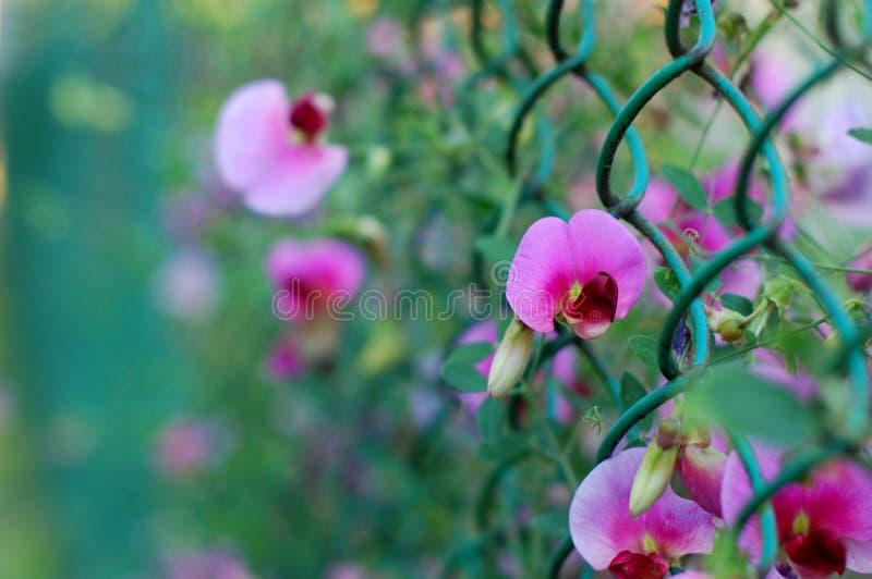 Flores da ervilha. imagem de stock