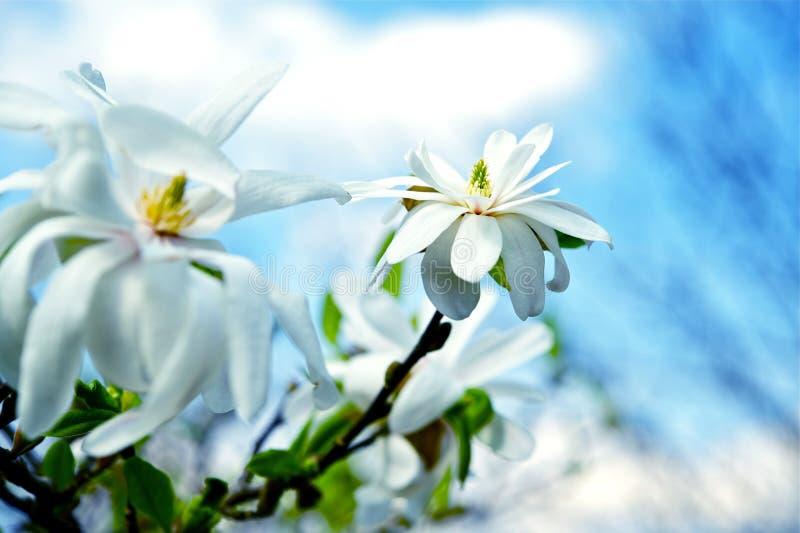 Flores da estrela do Magnolia fotografia de stock