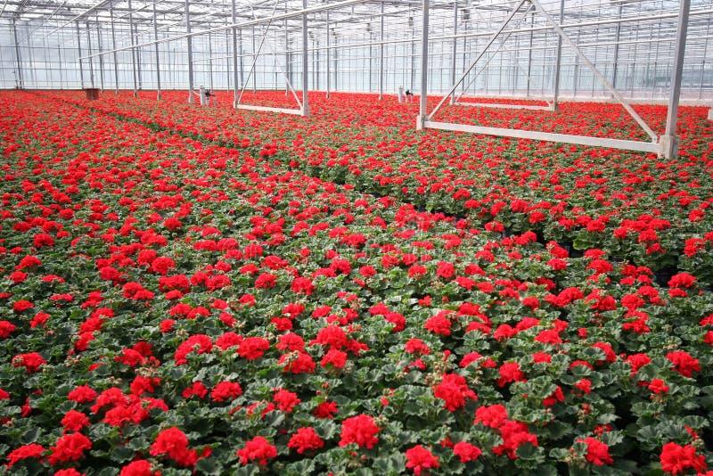 Flores da estufa fotos de stock royalty free