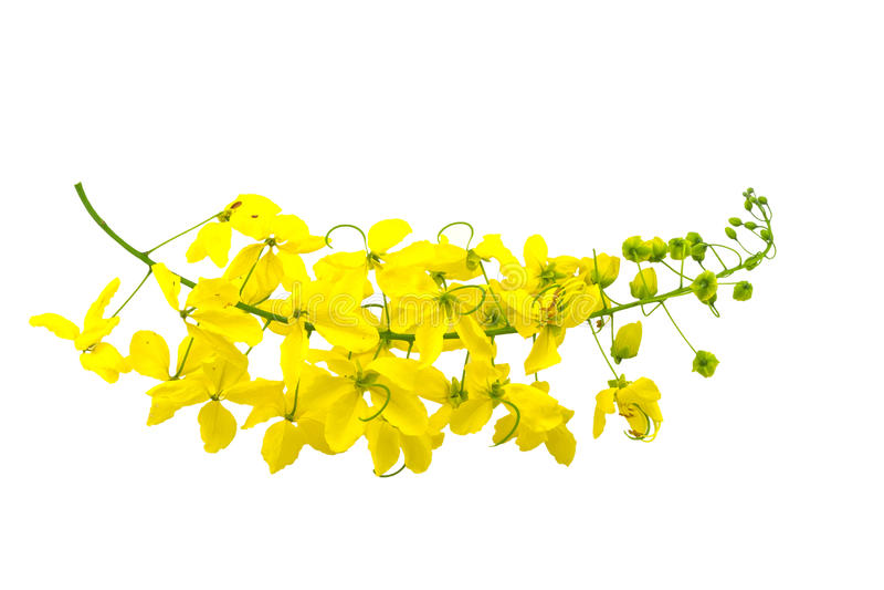 Flores da fístula da cássia ou chuveiro dourado, árvore nacional de Tha imagens de stock royalty free
