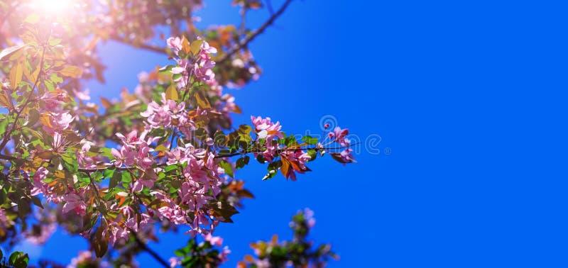 Flores da flor da árvore da mola com rosa e as pétalas vermelhas no fundo do céu azul Flor que floresce na árvore na primavera Ár fotografia de stock royalty free