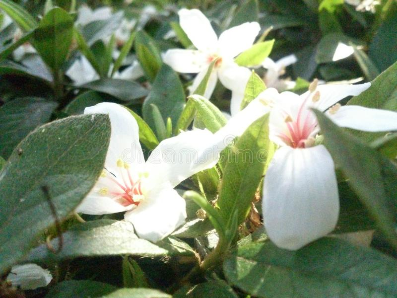 Flores da flor de Tung foto de stock royalty free