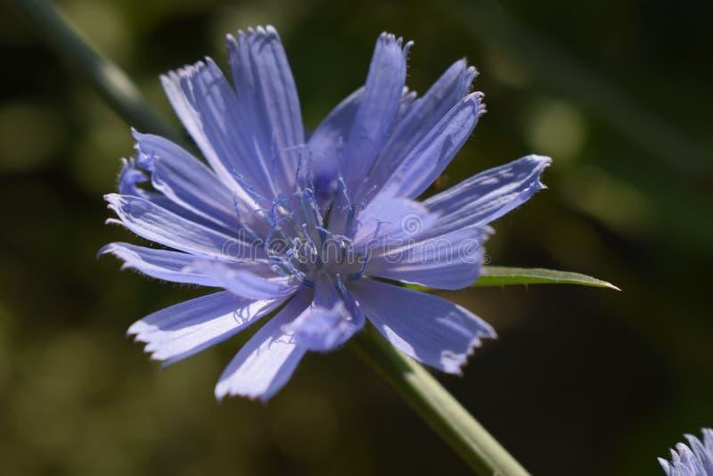 Flores da flor do intybus comum da chicória ou do Cichorium imagem de stock royalty free