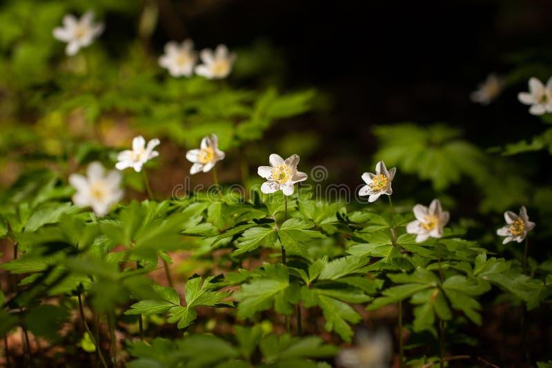 Flores da floresta de Anemone With Leaves Growing In foto de stock royalty free