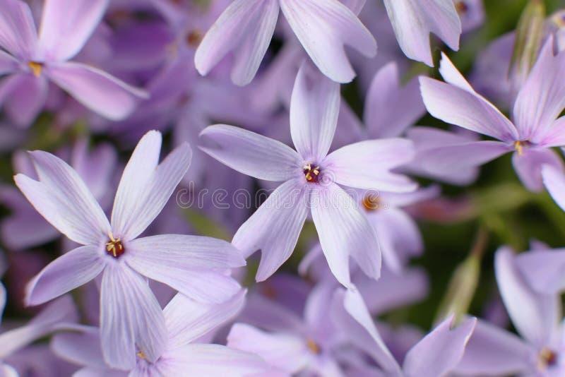 Flores da floresta, flox Fundo brilhante da cor, close-up fotografia de stock