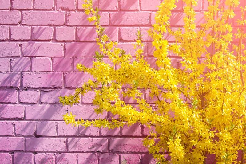 Flores da forsítia na flor fotos de stock royalty free