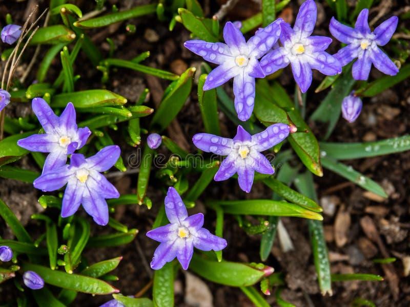 Flores da Glória---neve fotos de stock
