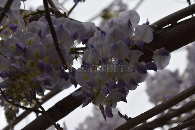 Flores da glic?nia na flor completa foto de stock royalty free