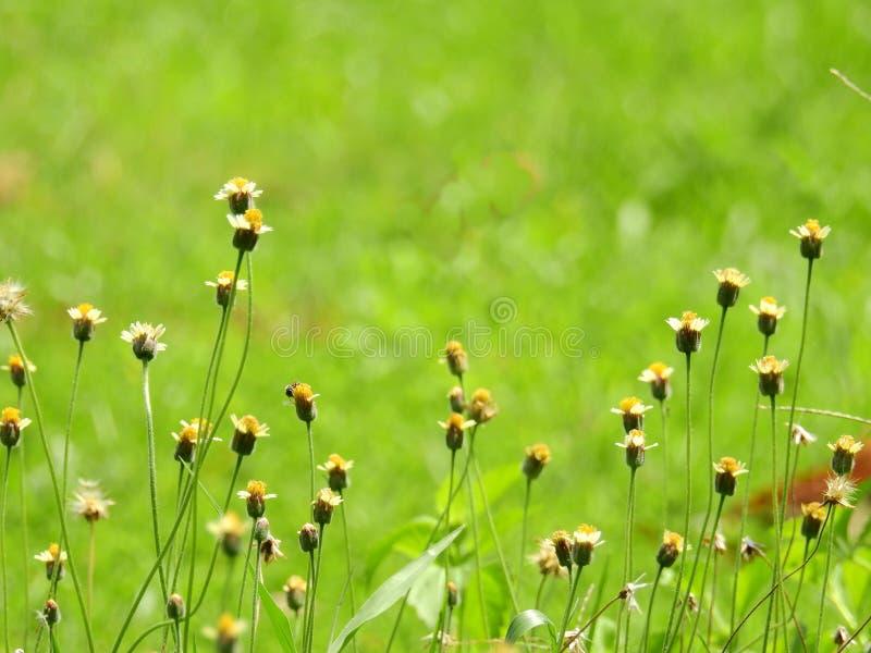 Flores da grama branca, estames amarelos fotos de stock royalty free