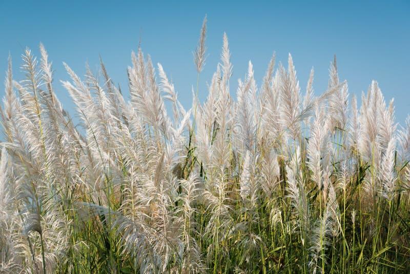 Flores da grama com fundo do céu azul fotos de stock