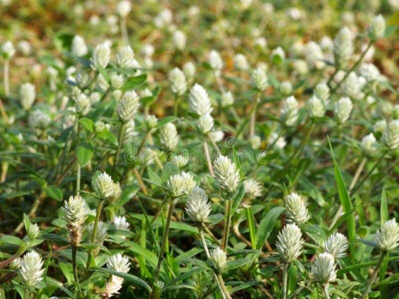 Flores da grama selvagem fotos de stock