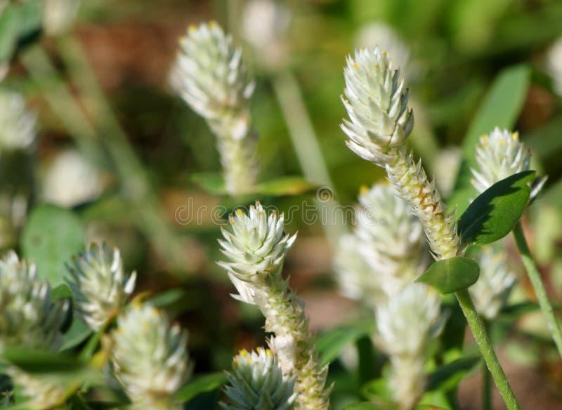 Flores da grama selvagem fotos de stock royalty free