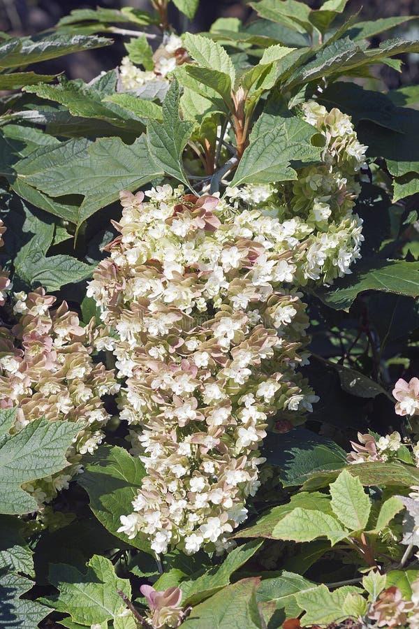 Flores da hortênsia do oakleaf do floco de neve imagem de stock