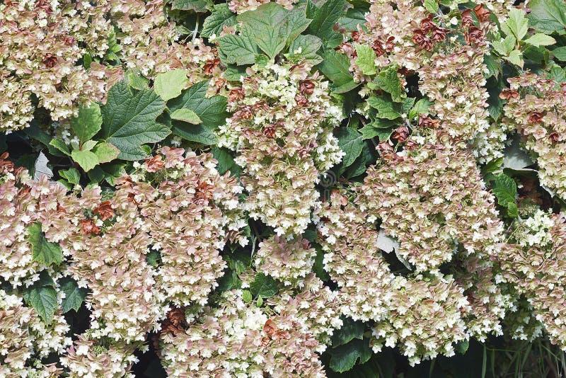 Flores da hortênsia do oakleaf do floco de neve imagens de stock