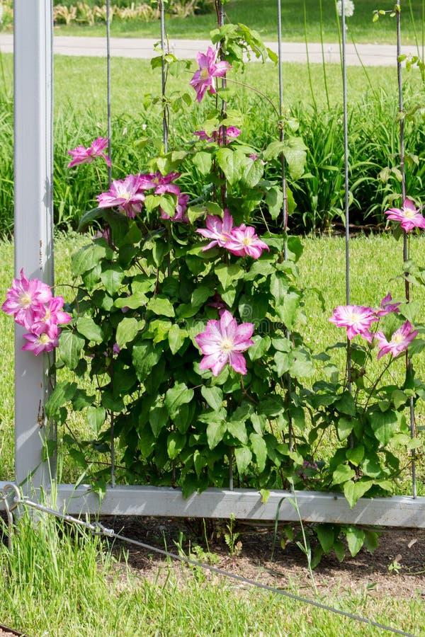 Flores da liana Clematis cor-de-rosa no jardim fotos de stock royalty free