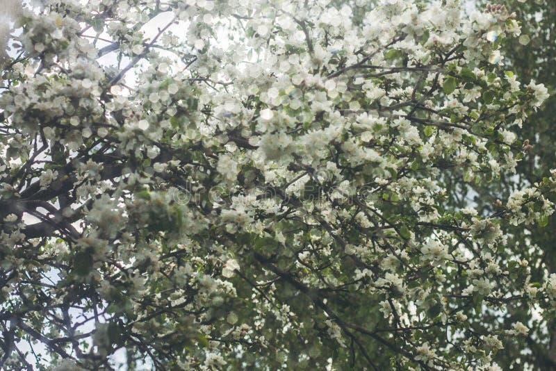 Flores da maçã-árvore imagens de stock royalty free