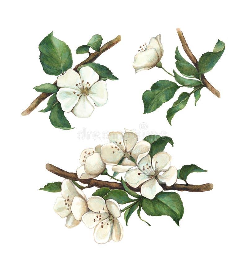 Flores da maçã da aquarela ajustadas ilustração stock
