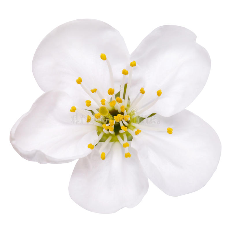 Flores da maçã da flor da mola isoladas no branco foto de stock