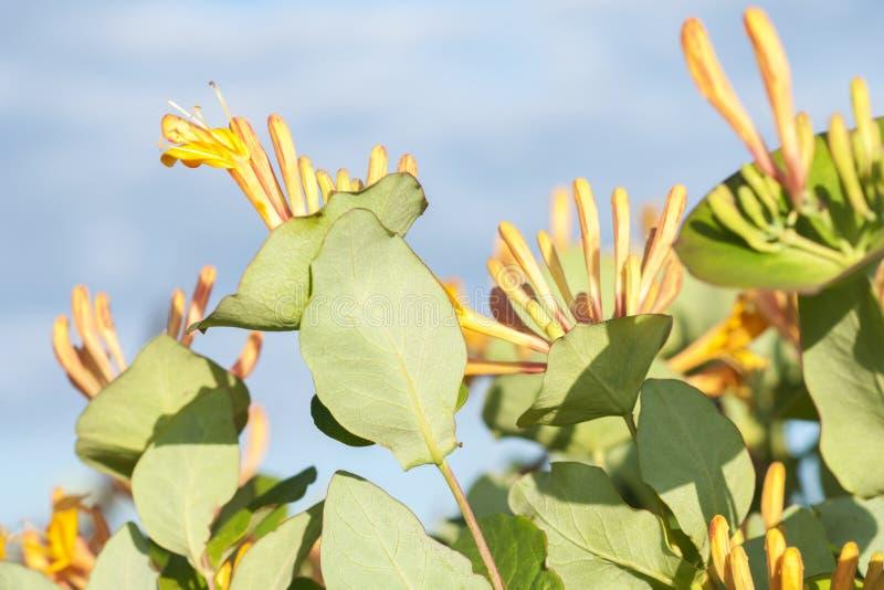 Flores da madressilva amarela no fundo do céu azul fotografia de stock