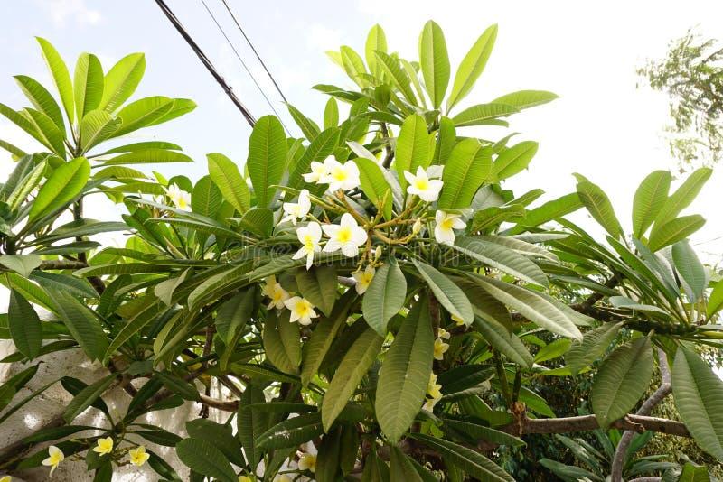 Flores da magnólia do grupo na árvore imagens de stock royalty free