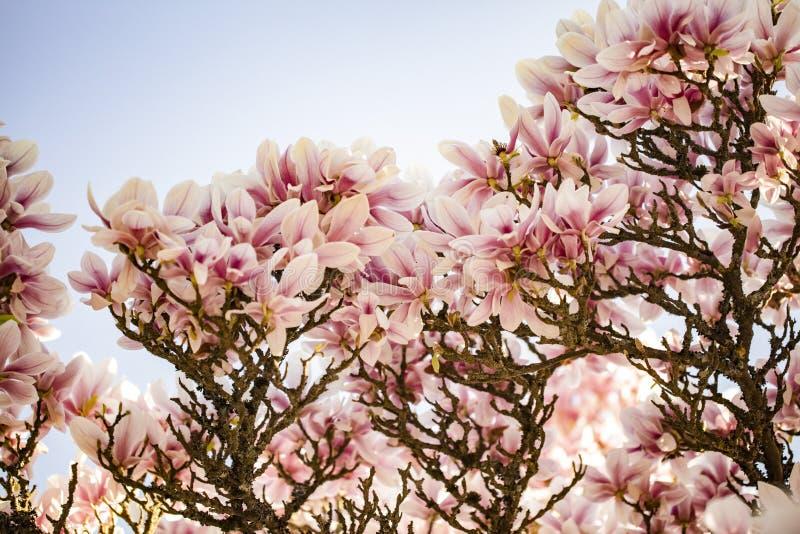 Flores da magn?lia foto de stock
